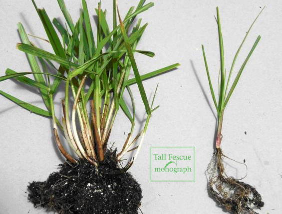 Tall fescue plant with roots
